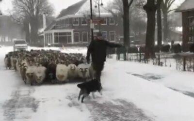 Schapen door de sneeuw