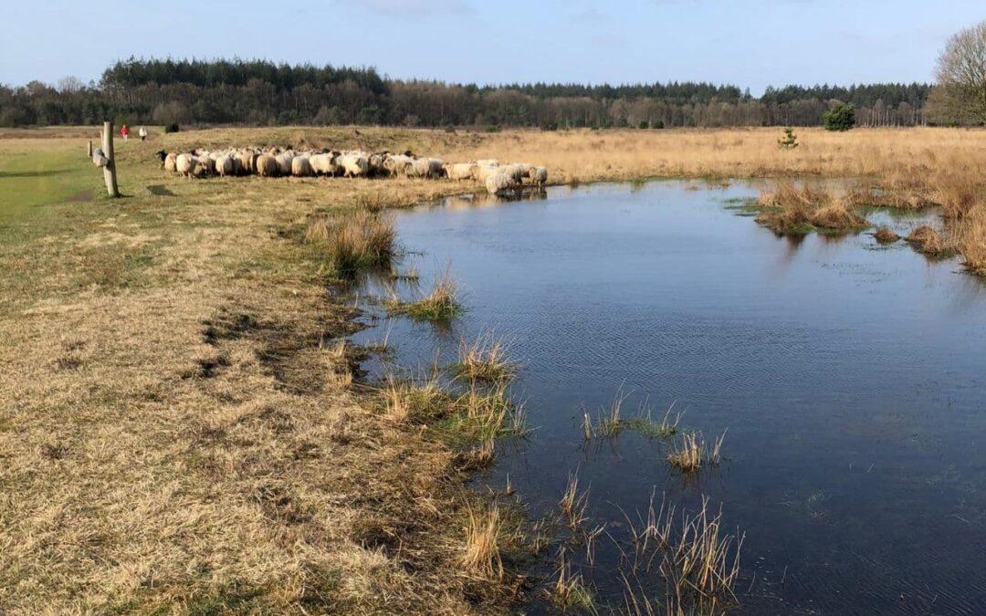 De schapen voor het eerst naar buiten op deze prachtige lente dag.