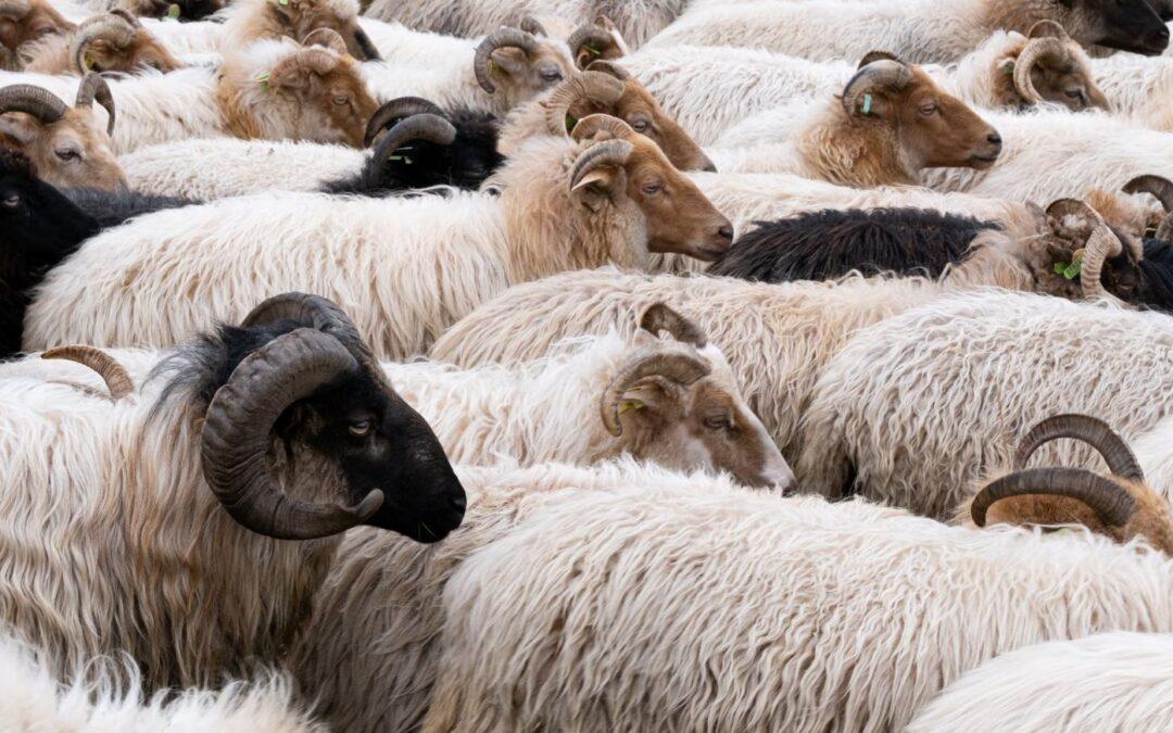 Vrijdag 18 juni blijven de schapen in de kooi!