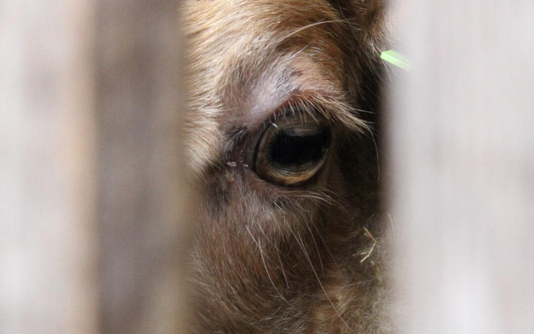 Enten en scheren; op 1, 3 en 4 juli blijven de schapen in de kooi.